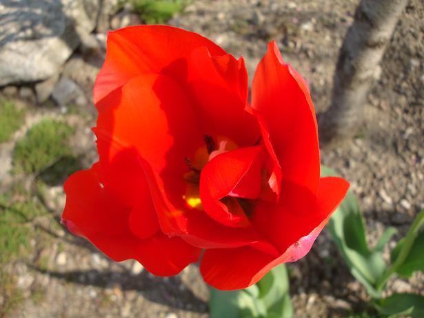 ярко-красный тюльпан