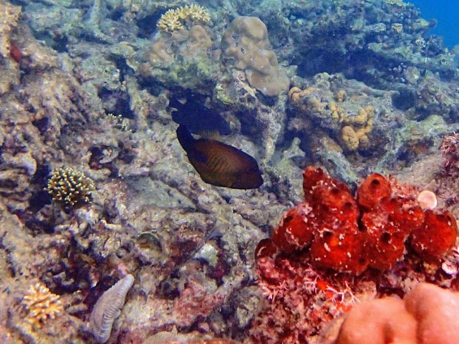 Amanses scopas (Broom Filefish), Miniloc Island Resort reef, Palawan, Philippines.