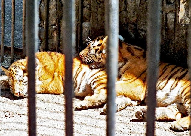 pui leu zoo radauti