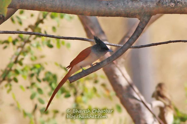 Asian Paradise Flycatcher about to fly