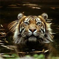 harimau sumatra, Harimau Sumatera (Panthera tigris sumatraensis), Panthera tigris sumatraensis, harimau, hewan langka