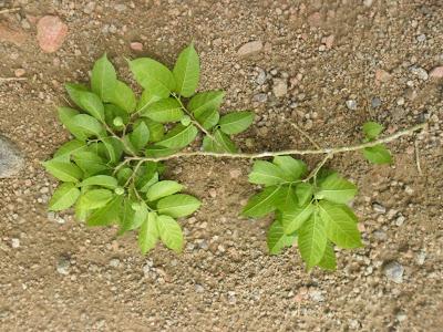 Maclura tinctoria http://sites.google.com/site/florasbs/home  São Bento do Sul - Santa Catarina