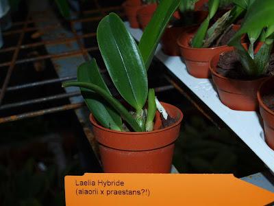 Растения из Тюмени. Краткий обзор - Страница 4 Laelia%252520Hybride%252520%252528alaorii%252520x%252520praestans%2525291