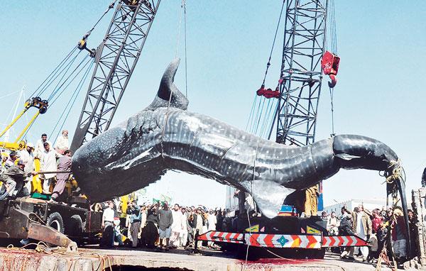 DUA kren digunakan untuk mengangkat seekor ikan yu gergasi di Karachi pada Selasa lalu.