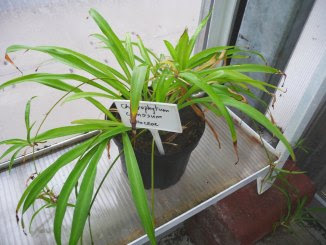 zielistka sternberga miniaturka