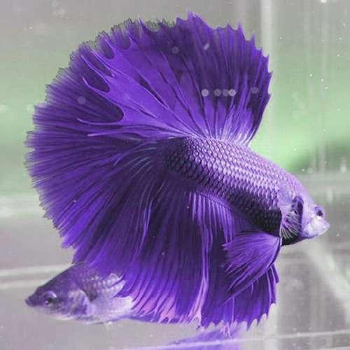 9300 Gambar Ikan Cupang Terindah HD Terbaik