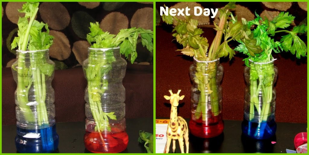 How Plants absorb Water Celery Science Experiment Craft