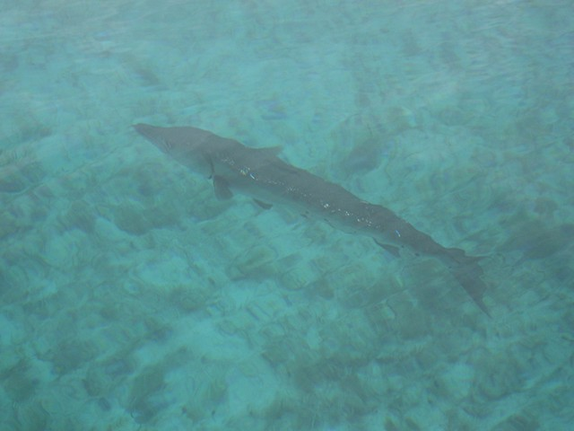 young barracuda
