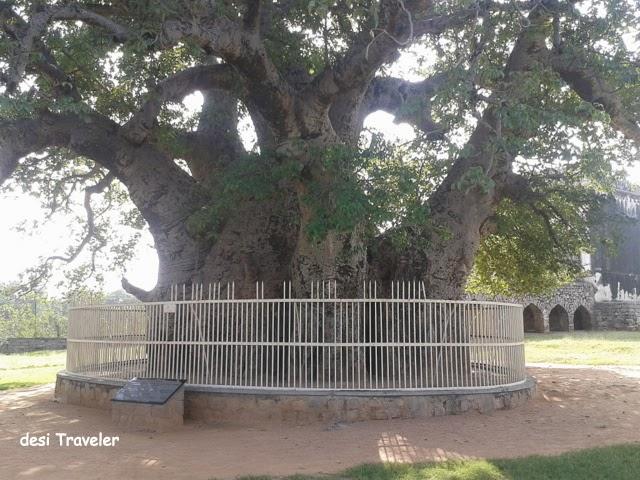 Hatiyan Jhad Baobab Tree Golconda