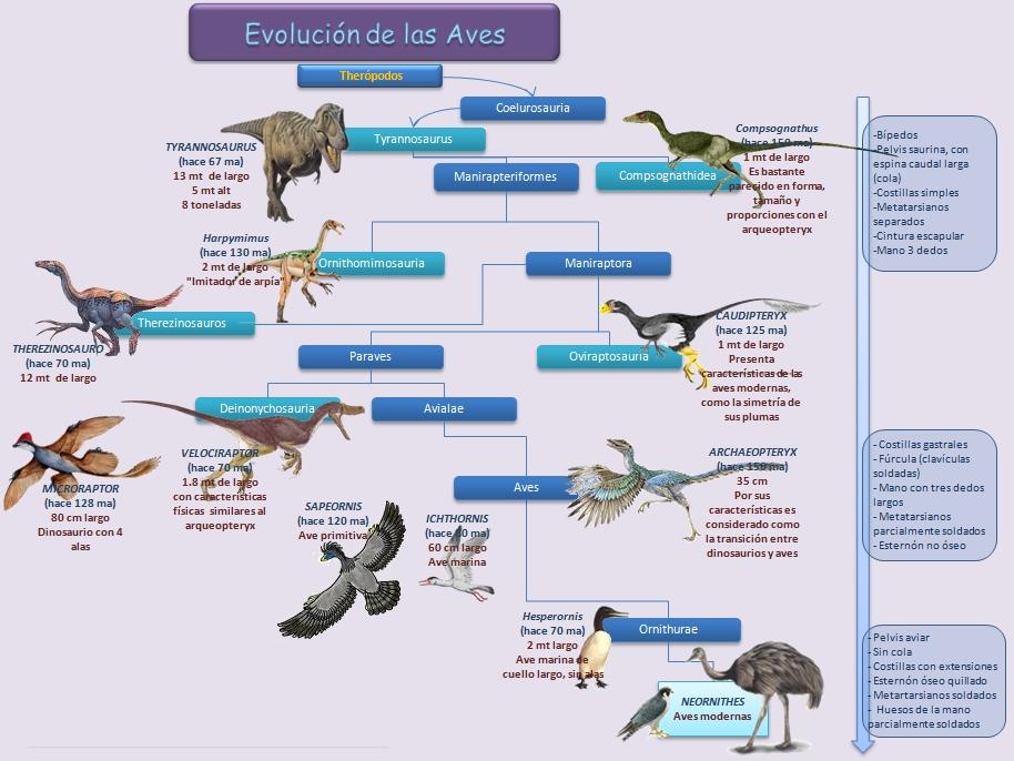 Evolución de las Aves | Esquemas, diagramas, gráficos y mapas ...