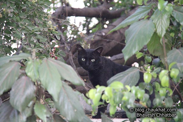Look closely — there is a black cat looking at you with something ferocious in her mind