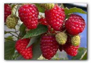 Малина ягода