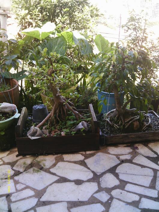 Ficus Microcarpa var. Indica... - Página 2 IMAG0099