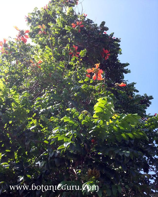 Spathodea campanulata, African Tulip Tree, Uganda Flame, Flame Of The Forest, Fountain Tree, Nandi Flame, Nile Flame, Squirt Tree tree