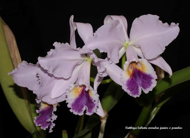 Cattleya labiata coerulea junior x panelas IMG_6759b%2520%2528Large%2529