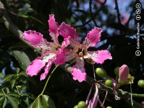 Las flores del logo Cap_cspeciosa