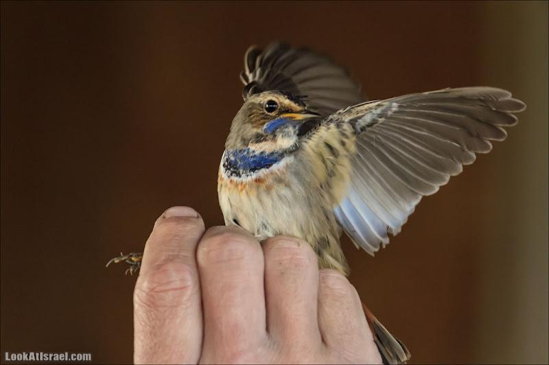 Кольцевание птиц. Как это делается (foto il  фото путешествия и интересно и полезно галилея братья наши  20121116 hula crossfeed station 001 IMG 8449)