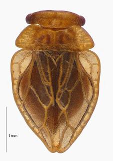 Xenophysella greensladeae, Holotype (Hemiptera: Peloridiidae). Photo BE Rhode, colour correction in collaboration with M-C Larivière.Citation: Larivière M-C, Burckhardt D, Larochelle A. 2011. Peloridiidae (Insecta: Hemiptera: Coleorrhyncha). Fauna of New Zealand 67. 78 pp. http://www.biotaxa.org/fnz/issue/view/431