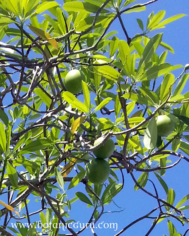 Cerbera odollam, Pong-pong, Suicide Tree, Yellow-Eyed Cerbera fruits