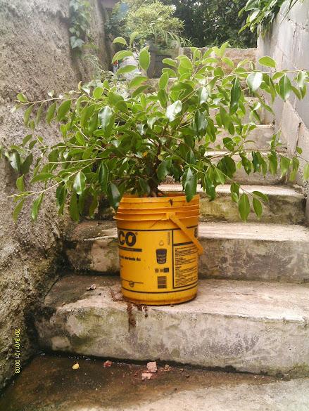 Ficus Microcarpa, finalização Rapida... IMAG0172