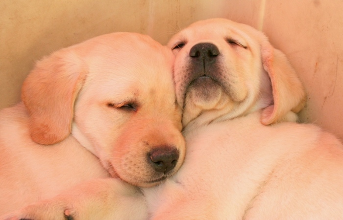 close up of two yellow labs, snuggled together in sleep