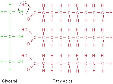 breakdown of triglycerides into fatty acids and glycerol