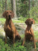 5/8 2012 Csákó och Farah Både 10/10 på ordinarie eftersöks prov på Berga. Farah även bästa spår och vatten apportör i ÖKL.