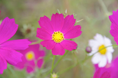 やっとお会いできましたね、 思い出深い花・コスモス 宇宙をさまよう。。。