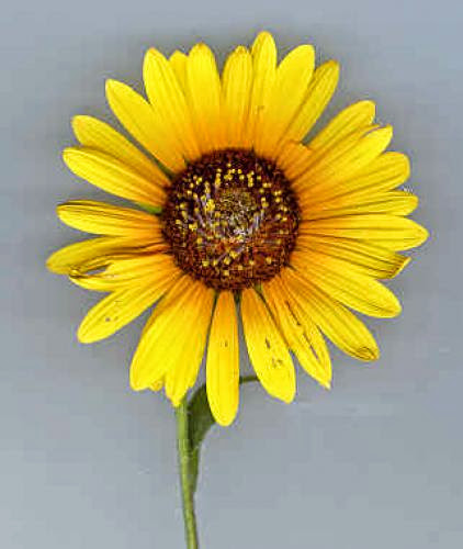 Floriography Friday Sunflower