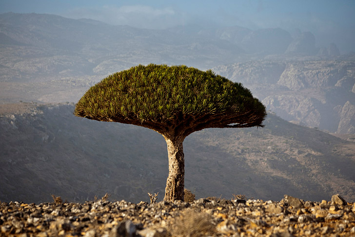 Dragon Blood Tree Socotra (11 Fascinating and Unique Trees to Put On Your Bucket List)
