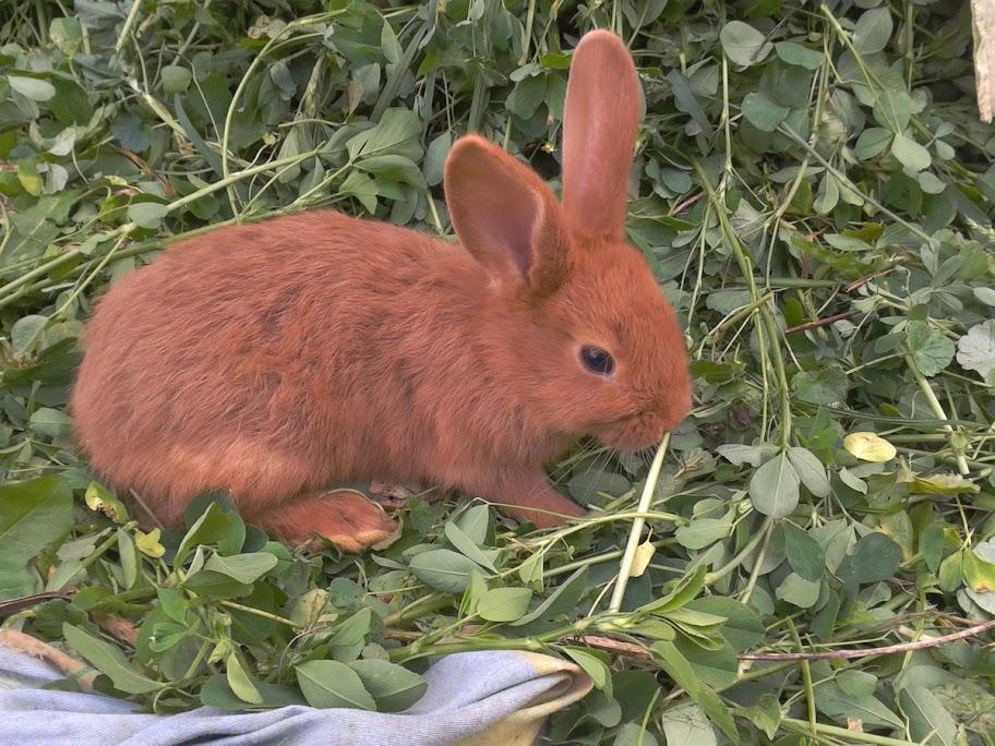 Кролик породы Новозеландский красный. - Страница 4 2012-09-22%252013.12.24