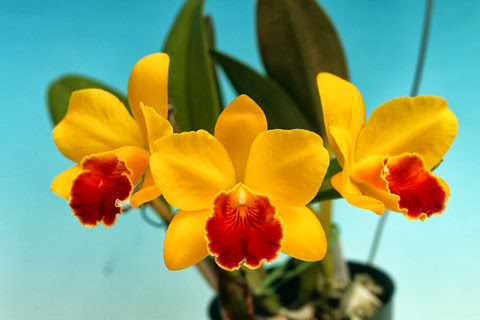 Nét đặc sắc của một số giống hoa lan cattleya
