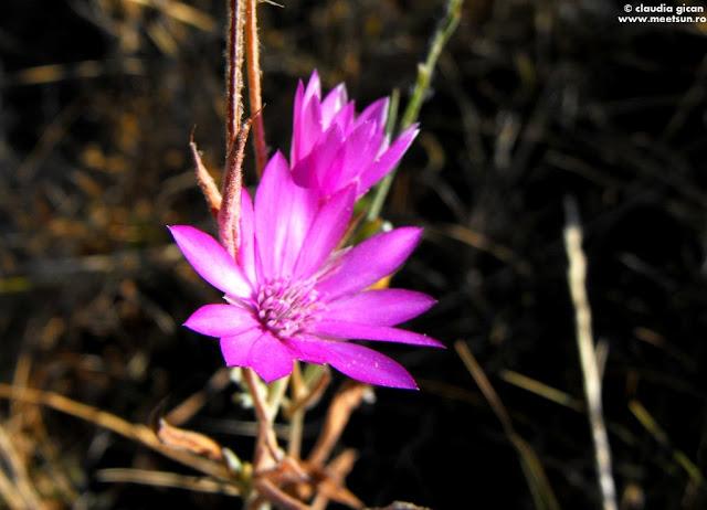 flori roz de camp nemuritoare (Xeranthemum annuum)