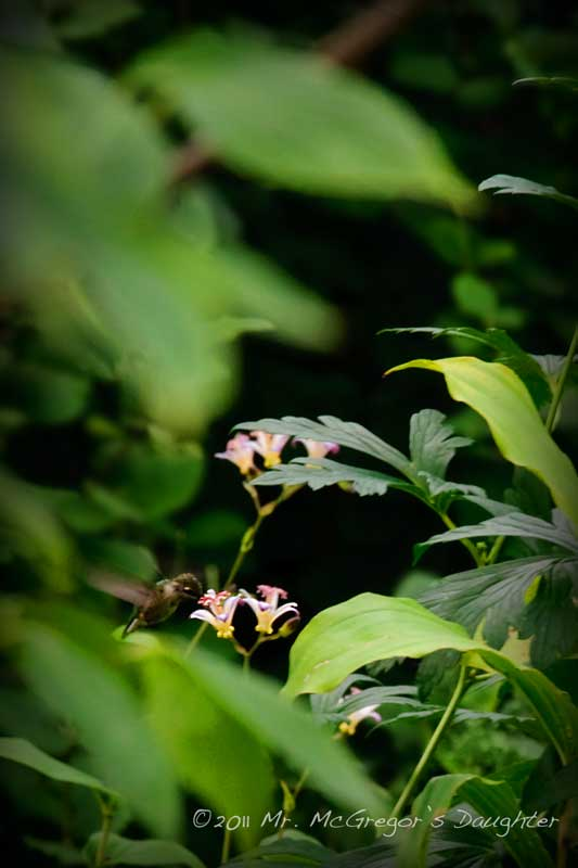 News Flash- Hummingbirds Visit Tricyrtis