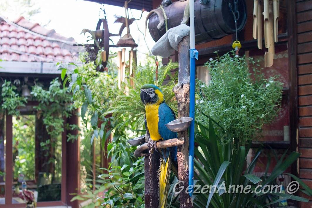 Polonezköy, Polina'daki papağan, Cabbar