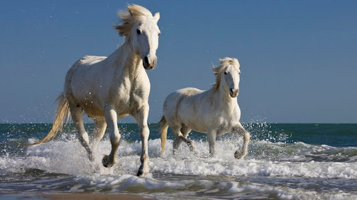Camargue Horses Running in the Surf, France.jpg