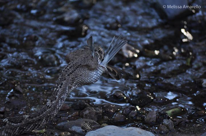 bird-eater