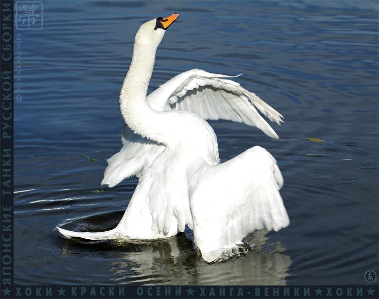 хоки, hoki, отражения, осень, reflection, autumn colors, краски осени,Cygnus olor, лебедь-шипун,