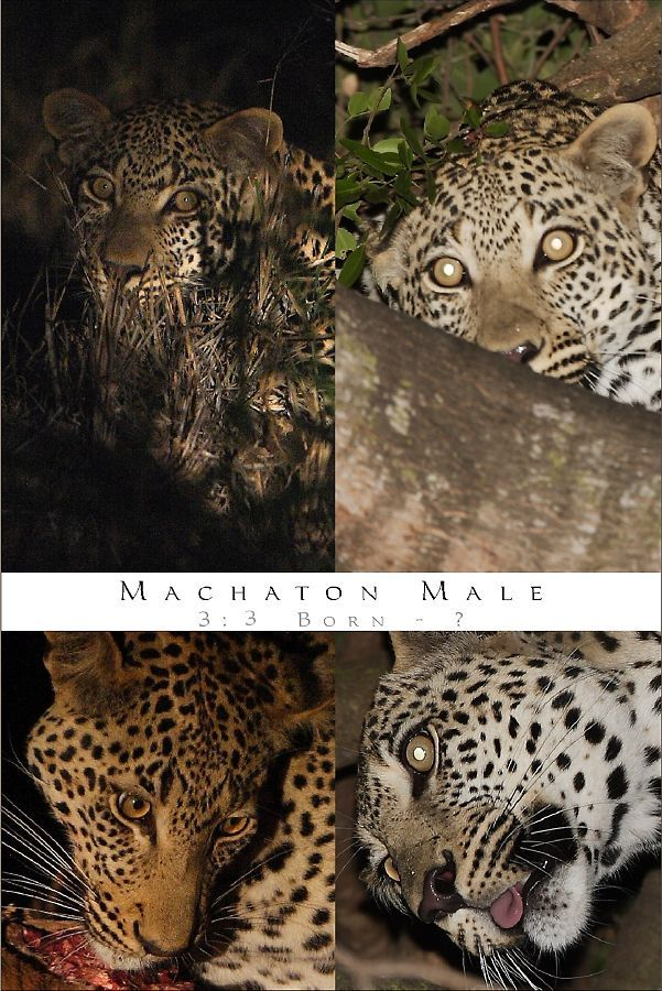 Machaton Male Leopard
