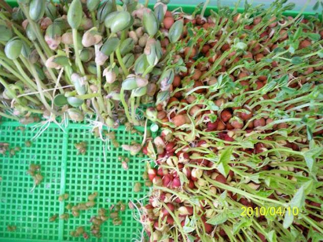 有機豆苗 有機豆芽菜