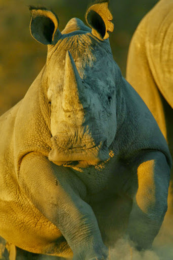 Love this rhino! Photo by Beverly Joubert