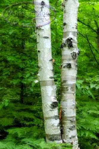 Birch Tree Lore