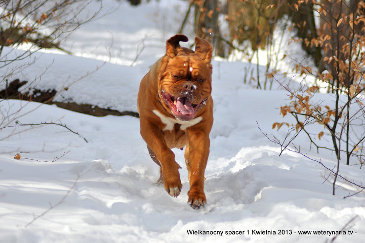 dogue de bordeaux spacer