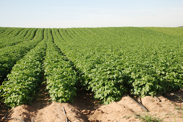 potato field in Israel