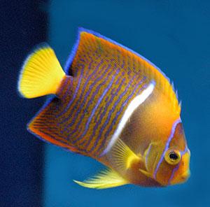 Ikan Hias Cantik Ikan Hias Air Laut