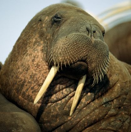 Disgruntled Walrus review
