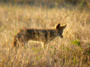 We also saw a black-backed jackal; another rare site.