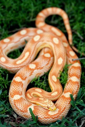 SAReptiles • View topic - My corn snake collection