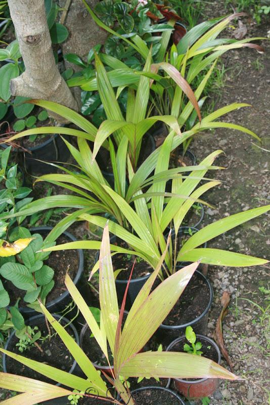 Futur jardin d'orchidées!!! - Page 2 IMG_3665
