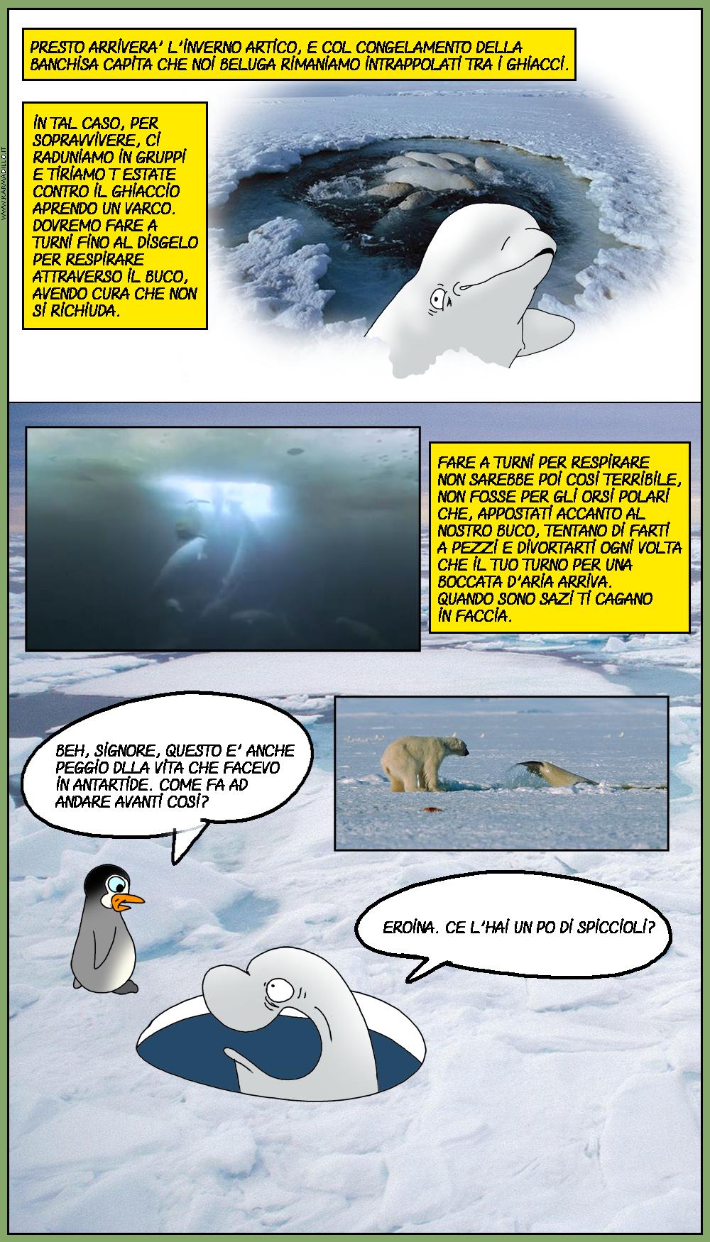 AAAAHHH, che vita meravigliosa i beluga del circolo polare artico